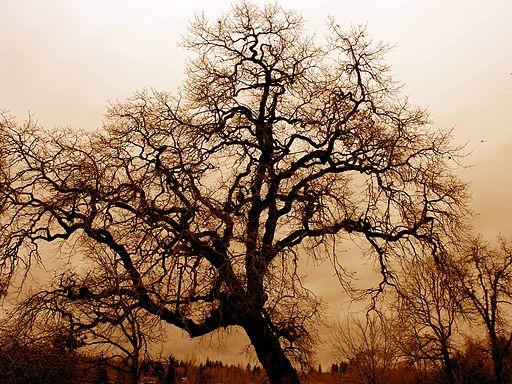 leafless_oak_tree