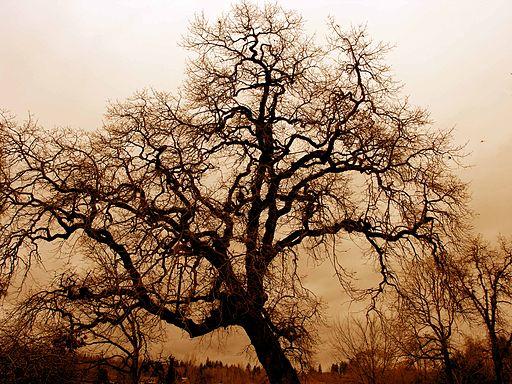 leafless_oak_tree